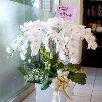 《春節花禮》蕙質蘭心蝴蝶蘭花禮【CA007】