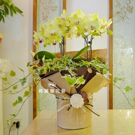 招財進寶蝴蝶蘭花禮【CA005】
