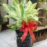 《工商花禮》中大型粗肋草花禮【DA022】