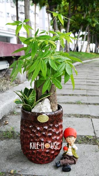 花材:马拉巴栗/发财树约三株 配件:多肉植物等3吋小盆栽,石材,乡村风