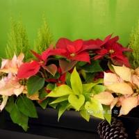 聖誕節盆花【HA013】