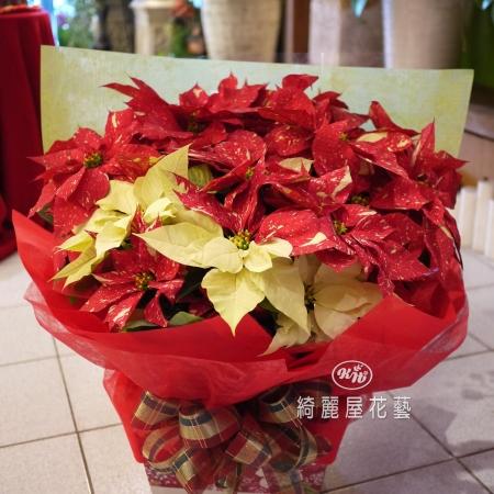 聖誕節盆花【HA027】