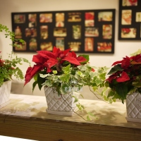 聖誕節盆花(1盆)【HA010】
